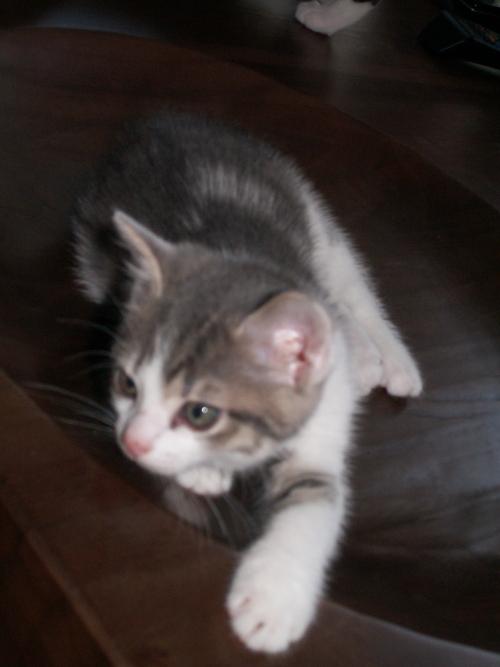 Kattunge på bord